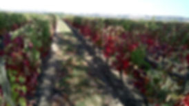 vignes de pierron