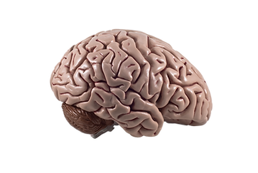 2. External brain_clipped_rev_1 copy.png