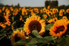Sunflower Maze (Coming 2021)
