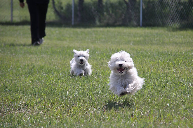 Happy dogs at Play Unleashed having a great time off leash