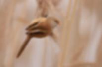 Panurus biarmicus