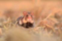 Cricetus cricetus