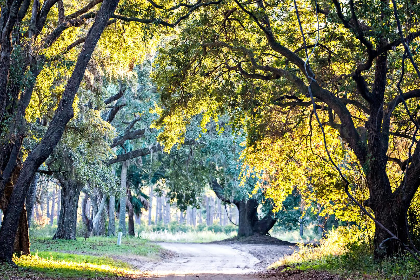 edisto moss draped oak plantation.jpg
