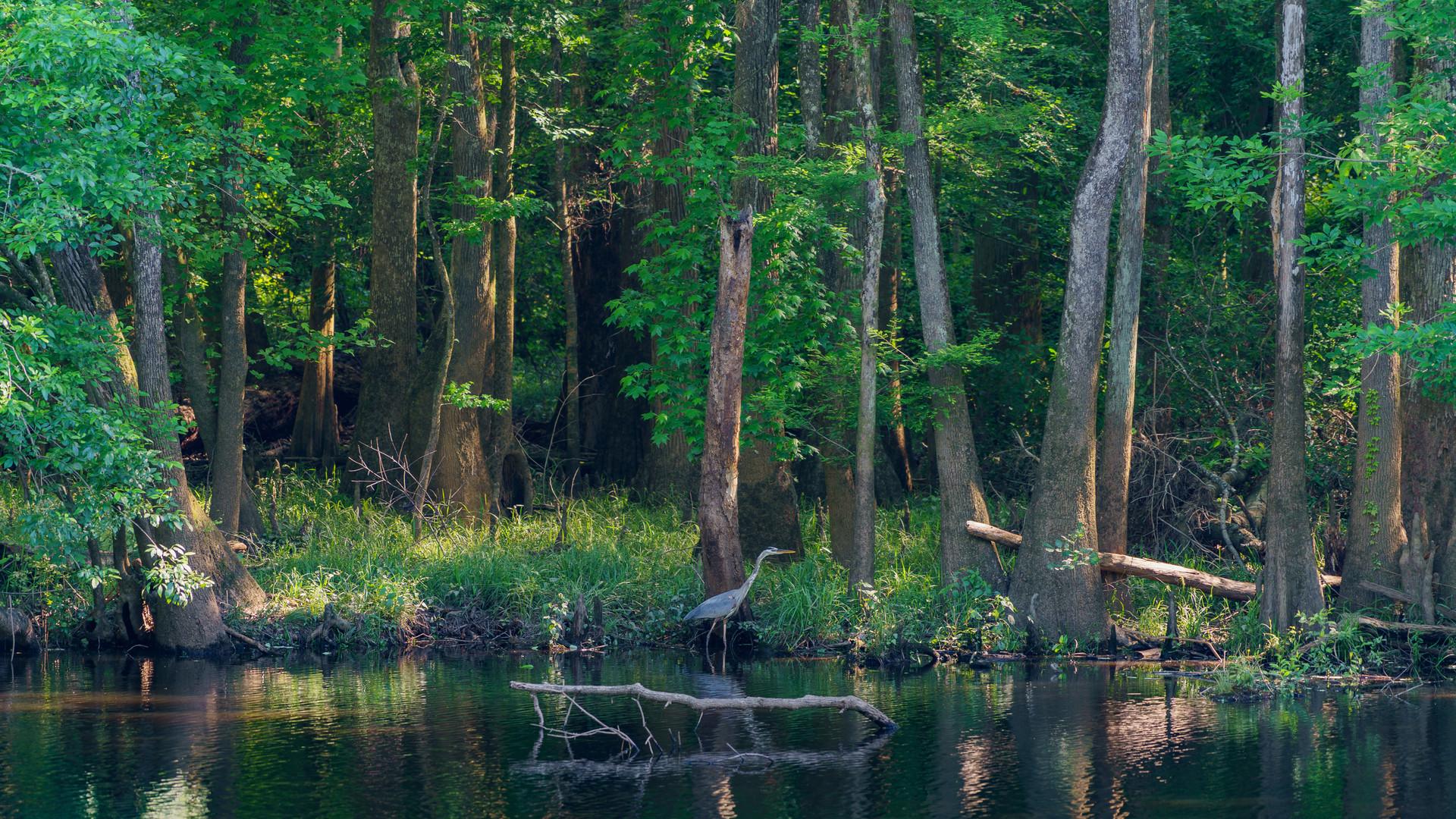 congaree national park heron.jpg