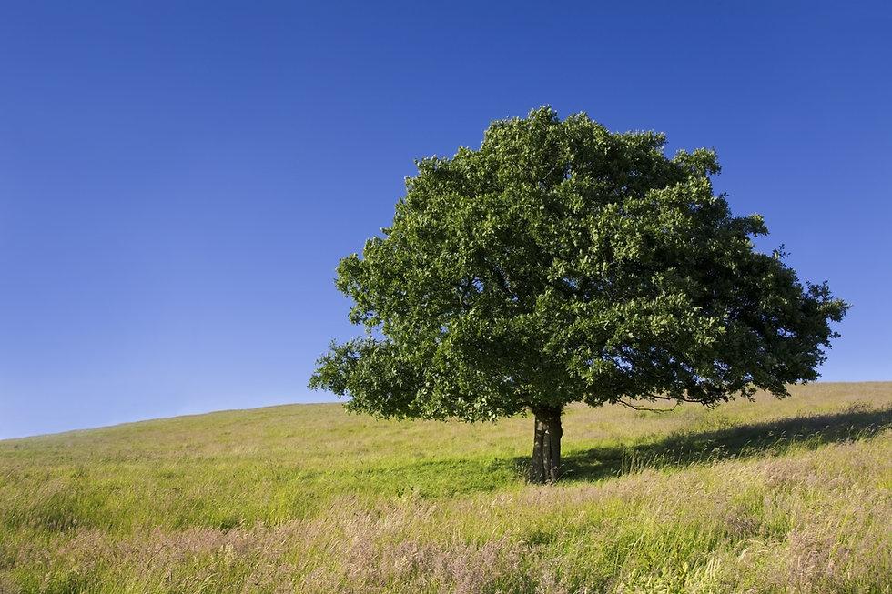 English Oak Tree.jpg