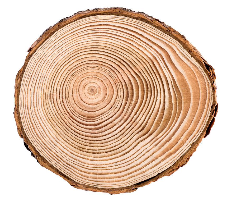 Cross section of larch tree trunk showin