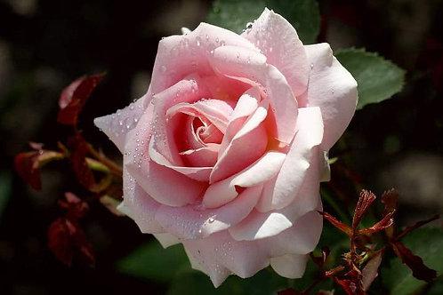 Роза чайно-гибридная Фредерик Мистраль