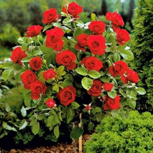 Роза чайно-гибридная Вельвет Фрагранс на штамбе