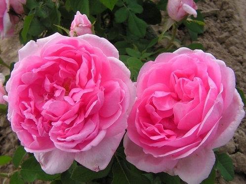 Роза кустовая Комт де Шамборд