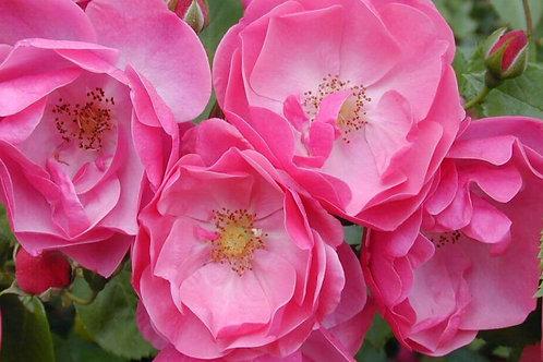 Роза флорибунда Анжела