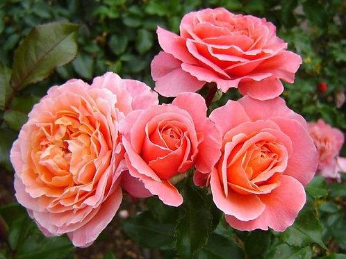 Роза чайно-гибридная Мария Кюри