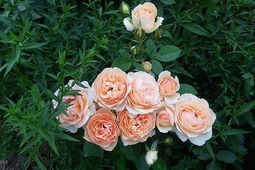 Роза флорибунда Женевьев Орси на штамбе