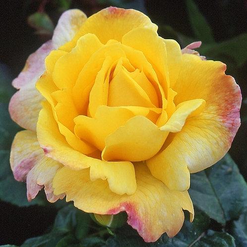 Роза флорибунда Чайнатаун