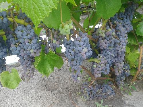 Виноград Потапенко