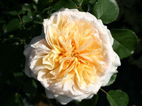 Английская роза (кустарниковая) Инглиш Гарден (горшок 5л)