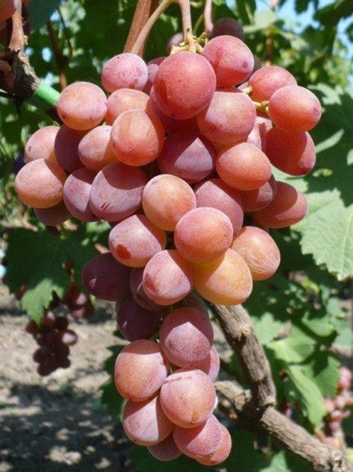 Виноград Пёстрый