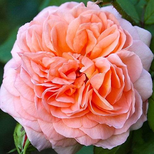 Роза английская Луиза Клементс