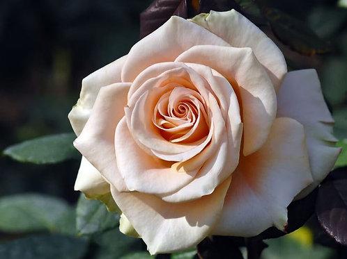 Роза чайно-гибридная Мэрлин Монро