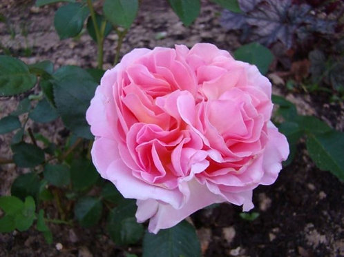 Роза чайно-гибридная Мириам