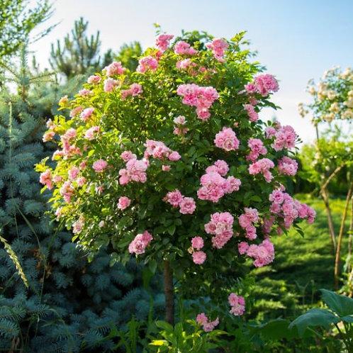 Роза почвопокровная Фэйри на штамбе