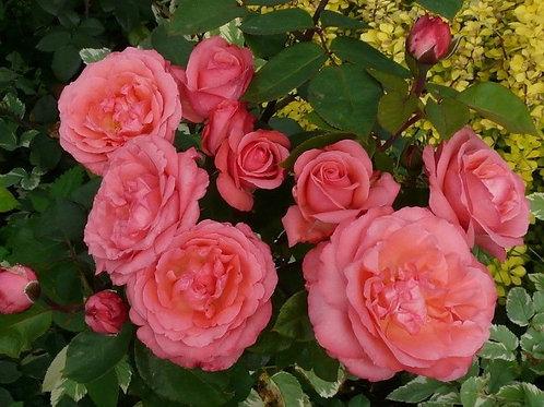 Роза чайно-гибридная Пинк Пантер