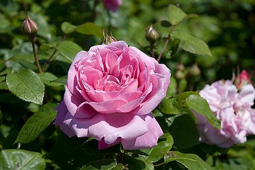 Роза английская (шраб) Мэри Роуз