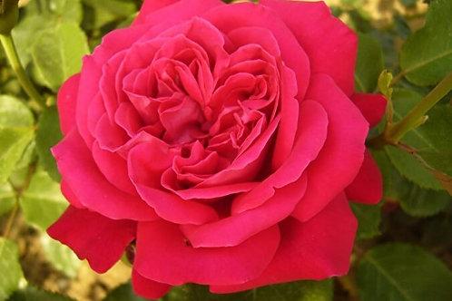 Роза чайногибридная Дама де Кер