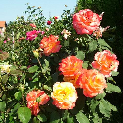 Роза чайно-гибридная Марвелл на штамбе