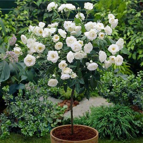Роза чайно-гибридная Карен Бликсен на штамбе