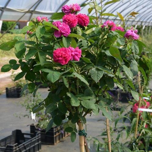 роза портландская Роз дэ Рэшт на штамбе