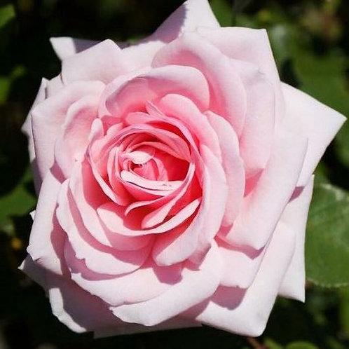 Роза чайно-гибридная Савой Хотел