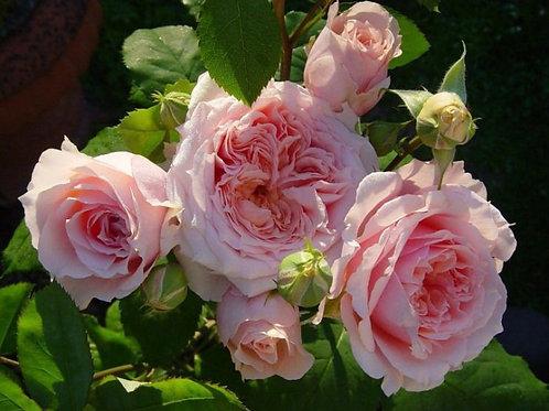 Роза чайно-гибридная Поль Бокюз