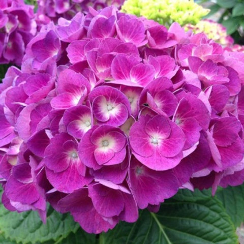 Гортензия крупнолистная Барон Пурпурный