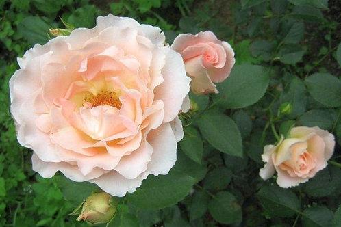 Роза кустовая Рококо