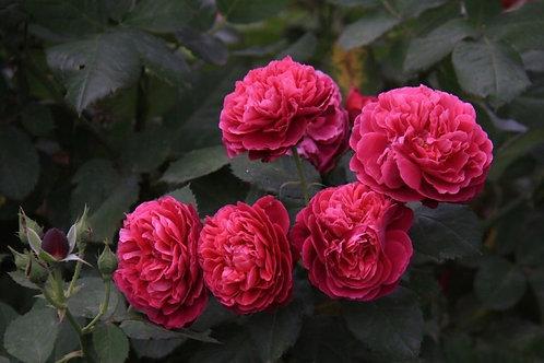 Роза английская  Бисантенэр де Гийо