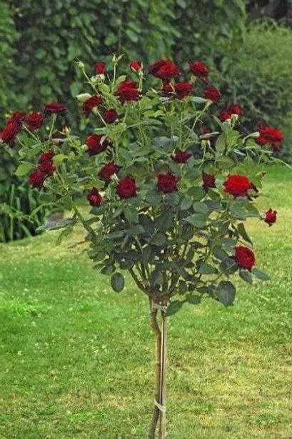 Роза чайно-гибридная Блэк Баккара на штамбе