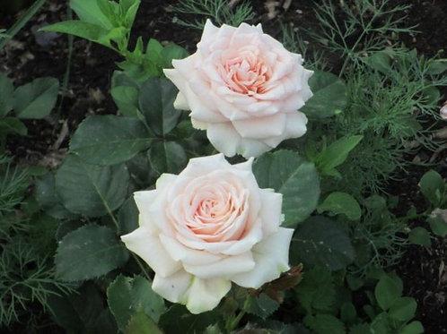 Роза чайно-гибридная Лакрэ