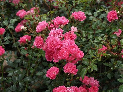 Роза почвопокровная Пинк Фэйри