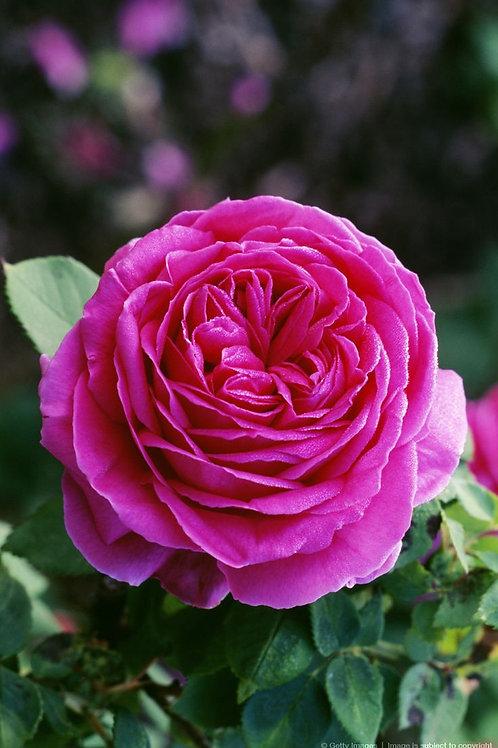 Роза английская Отелло