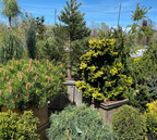 Conifers are Cool!!