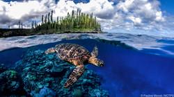 Turtle in Mare © Pauline Masse _ NCTPS