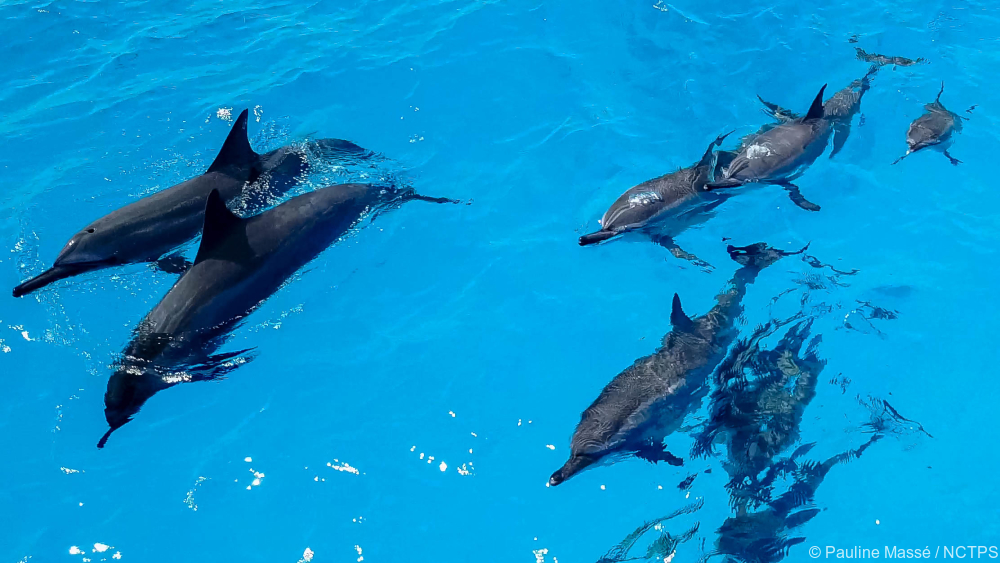 Dolphins - New Caledonia