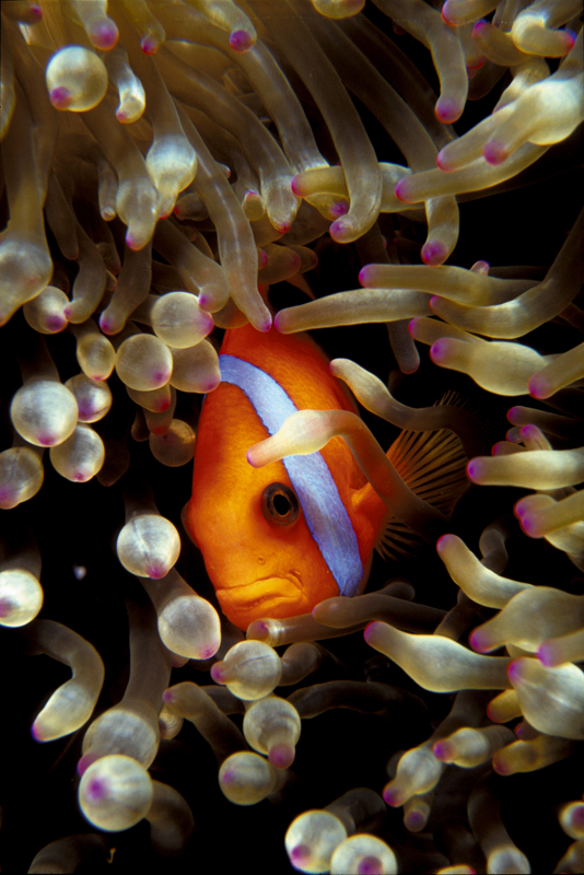 CLOWN FISH noumea diving