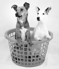 Dogs in a washing basket