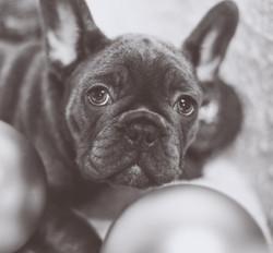 Christmas French Bulldog