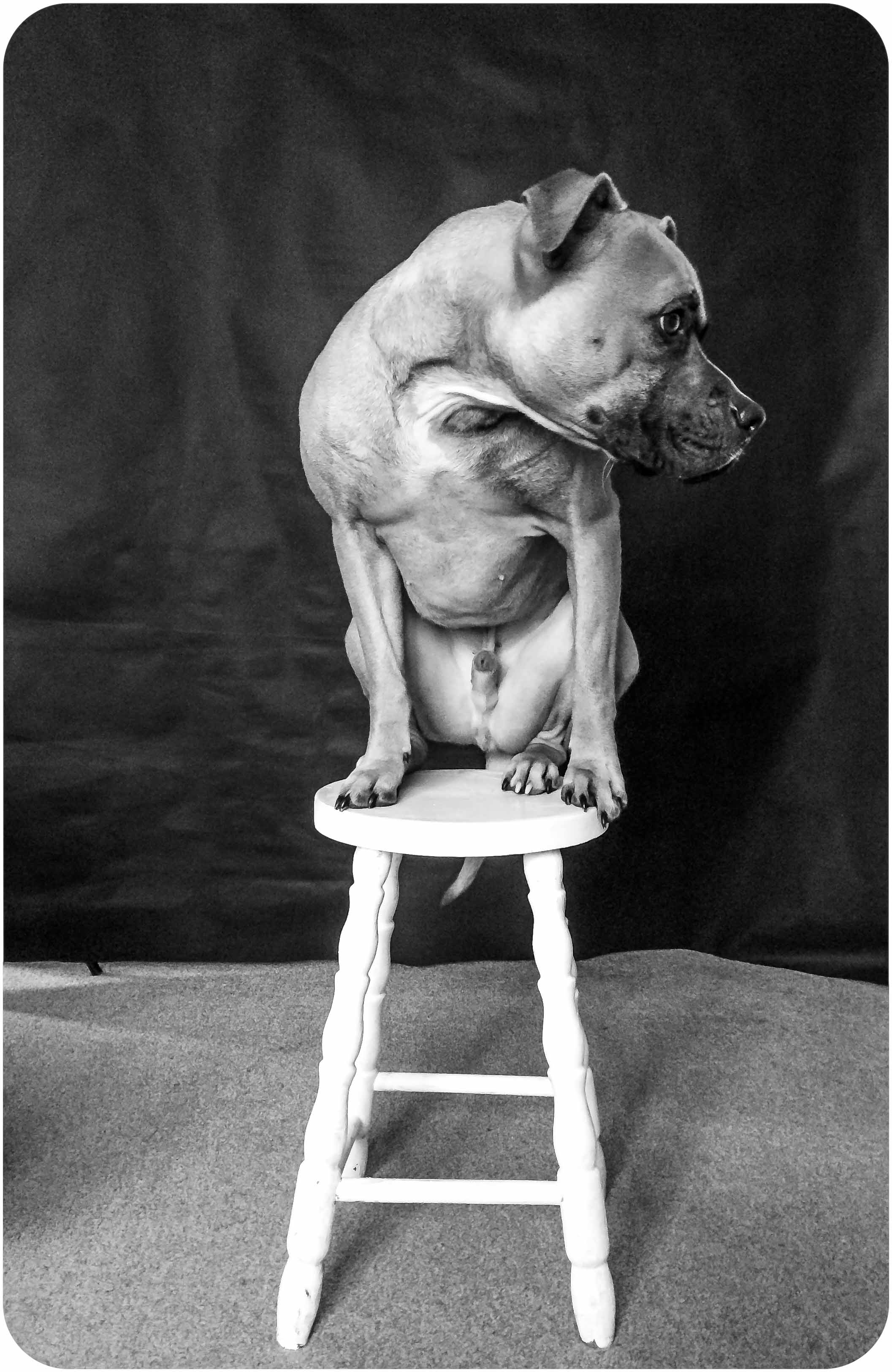 Staffy on a stool