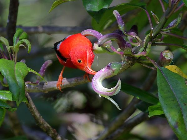 BretMossman_Ê»IÊ»iwi_plantsforbirds_high