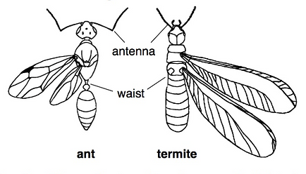 Swarming ant & termite side by side comparison. The termite has a broad waist and symmetrical wings.