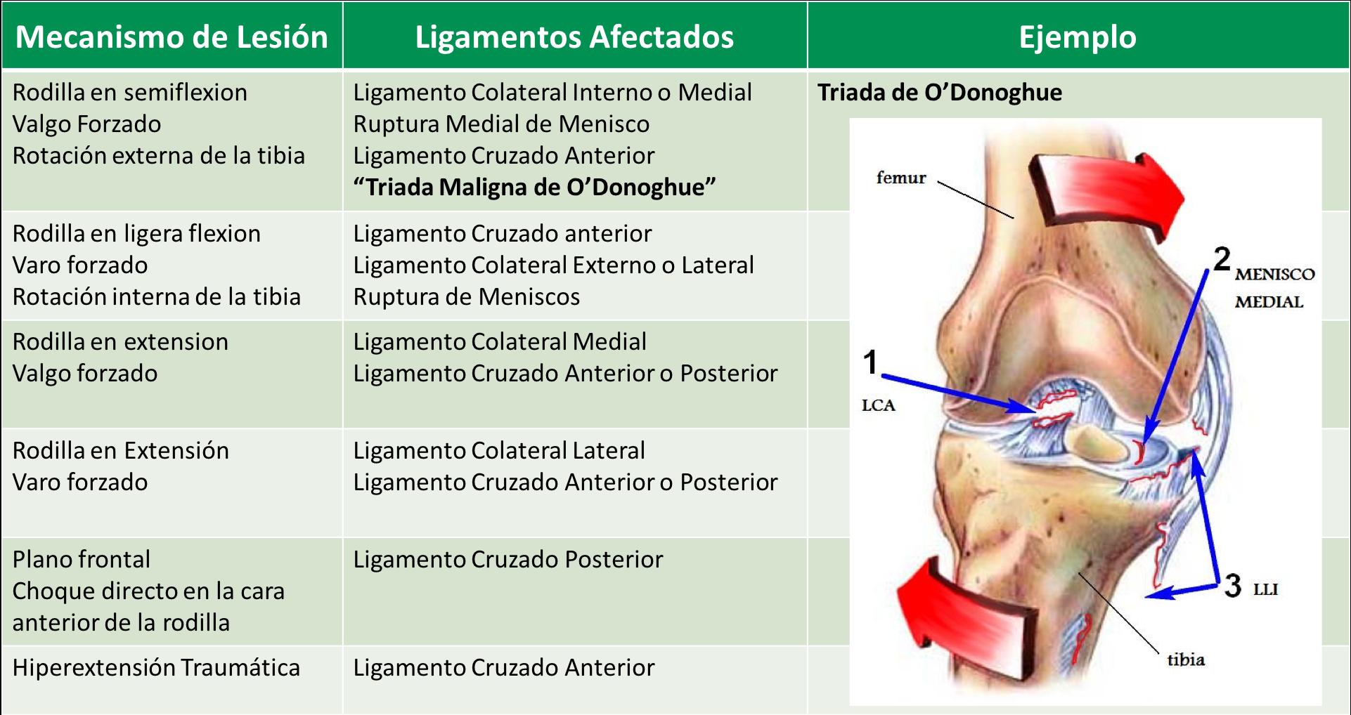 ligamentos cruzados de la rodilla inserciones