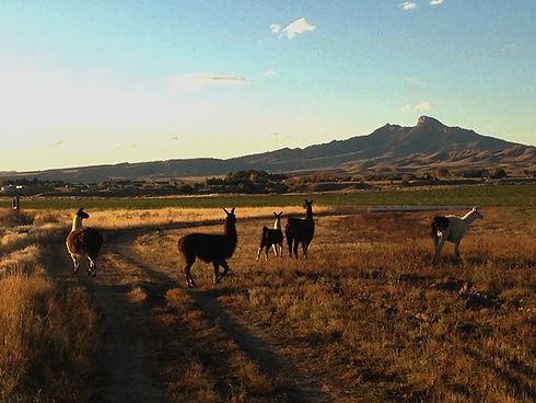 Llama llama llama #Wyoming_edited.jpg
